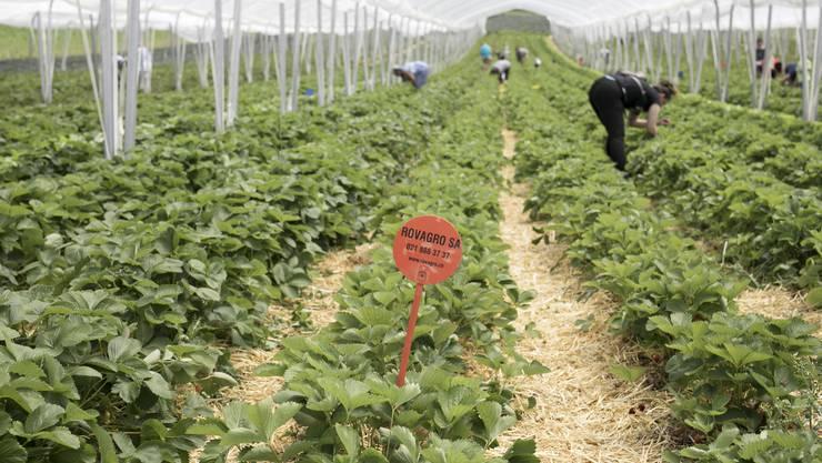 Auf dem Erdbeerfeld der Familie Wietlisbach können die Kundinnen ihre Erdbeeren selber pflücken.