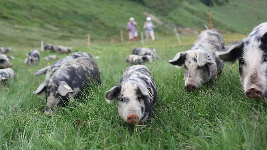Auf der Weide: Turopolje-Schweine zeigen im Rahmen eines Pilotprojektes von KAGFreiland, ob sie für das Leben auf der Alp geeignet sind.