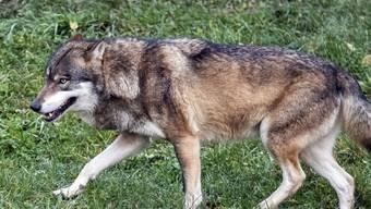 Ein Wolf im Tierpark Goldau. (Symbolbild)