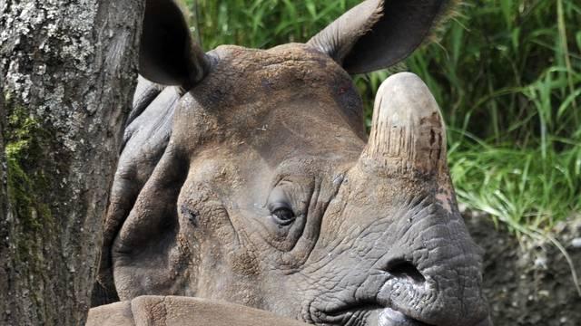 Gute Bedingungen: Ein Nashorn im Basler Zolli (Archiv)
