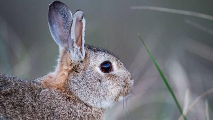 """Viele Kinder wünschen sich zum Osterfest einen """"echten Osterhasen"""". Kaninchen seien aber keine Ostergeschenke, schreibt die Tierschutzorganisation Peta Schweiz. (Archivbild)"""