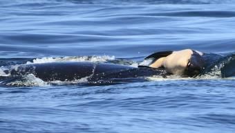 Orca-Mutter trägt ihr Junges an der Wasseroberfläche