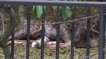Am 29. Juli um 9.50 Uhr kommt der Giraffenbub auf die Welt.