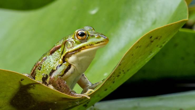 Künftig soll ein in Madagaskar entdeckter Frosch nach dem Orell Füssli-Gründer heissen. (Symbolbild)