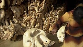 Schädel von Elefanten, die Wilderer erlegt hatten. (Archiv)
