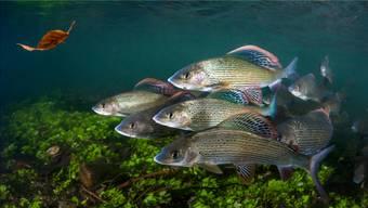 Die Lage für die schönen Äschen ist dramatisch: Wird das Wasser noch wärmer, sterben sie als Erste.Paul Colley/Alamy