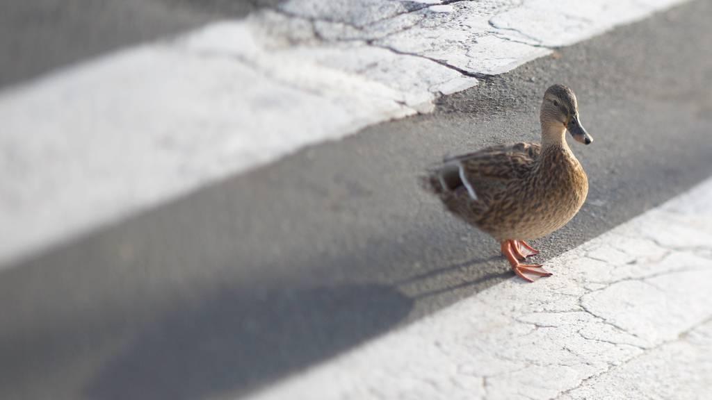 Eine Entenfamilie hat sich auf die Autobahn verirrt. (Symbolbild)
