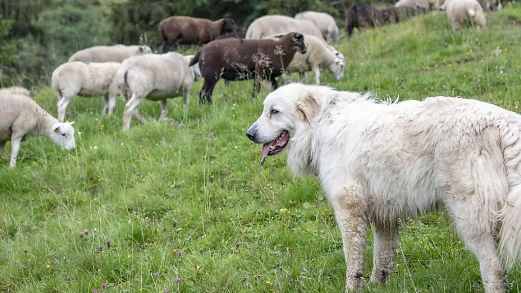 Ein ausgebildeter Herdenschutzhund schützt eine Schafherde vor Wölfen. (Archivbild)