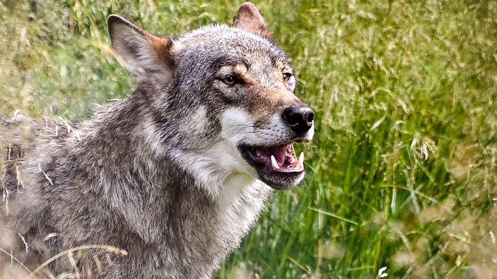 Gerissenes Schaf im Kanton Schwyz – Wolf als Täter vermutet