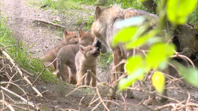 Junge Wölfe im Zoo Zürich
