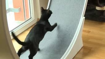 Nie mehr Faulpelz: 98 von 100 Katzen würden seine Laufräder nutzen, sagt René Heeb im Beitrag der Sendung «tierisch» – dass es funktioniert, bestätigt in der Sendung Mägi Baumann, Halterin von sechs Wohnungsrassekatzen.