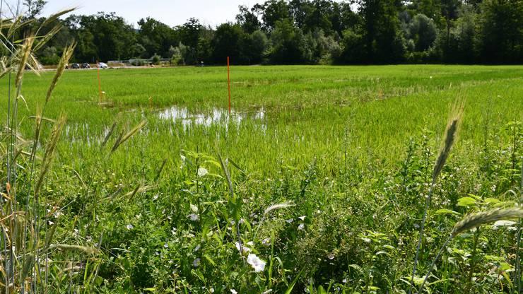 Hier konnten schon verschiedene, auf Feuchtflächen angewiesene Tiere auf dem Reisfeld beobachtet werden: Flussuferläufer, Kiebitze, Grünfrösche und ihre Kaulquappen sowie verschiedene Libellenarten, darunter zum Beispiel die Kleine Königslibelle.