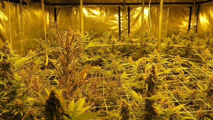 Der Verkaufswert der beschlagnahmten Hanfpflanzen liegt bei mehreren tausend Franken.