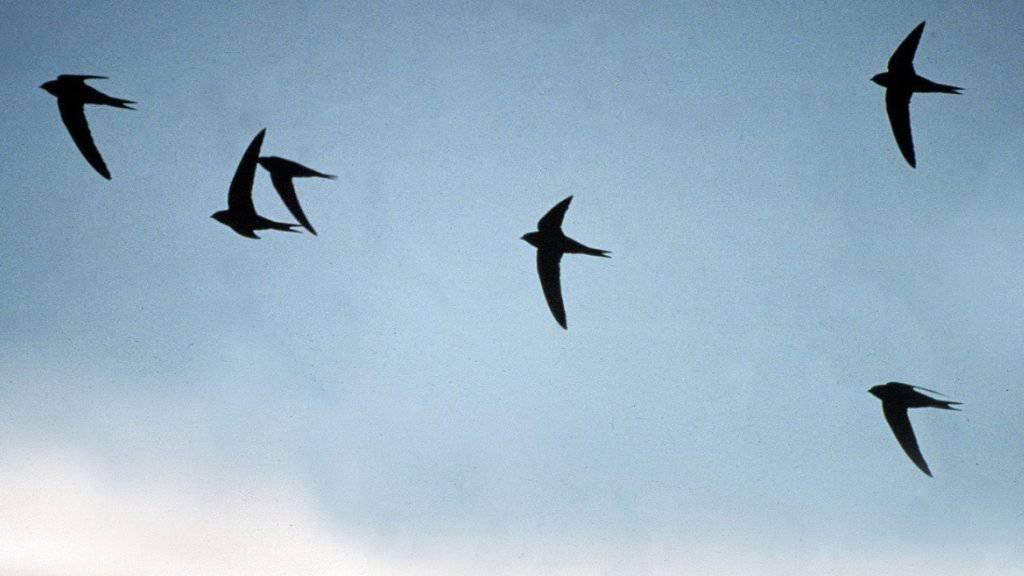 Mit einfachen Massnehmen können Menschen dafür sorgen, dass Vögel nicht in Glasscheiben fliegen. (Archivbild)