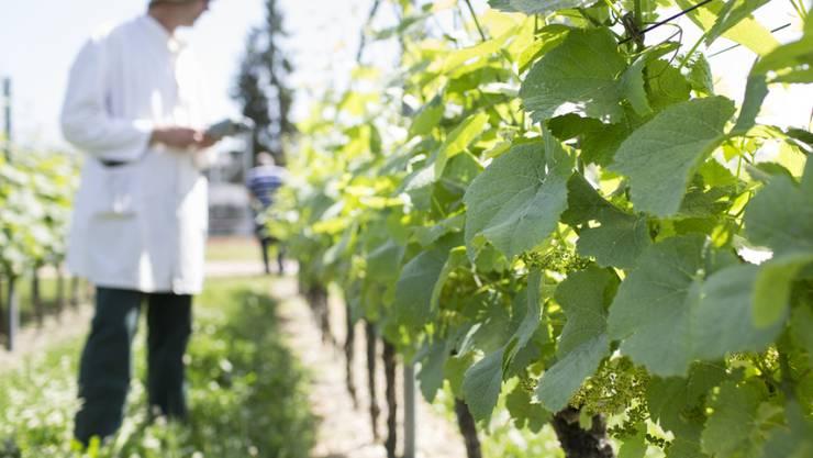 Ein Forscher analysiert für Syngenta Tests mit Pflanzenschutzmitteln