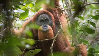 Der neu beschriebene Tapanuli-Orang-Utan ist mit 800 Tieren die seltenste Menschenaffenart und droht auszusterben.