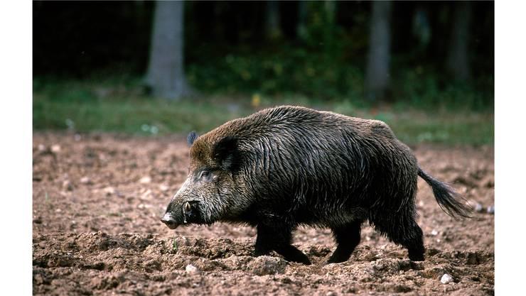 Das Fleisch von Wildschweinen soll auf Belastung durch Strahlen untersucht werden.