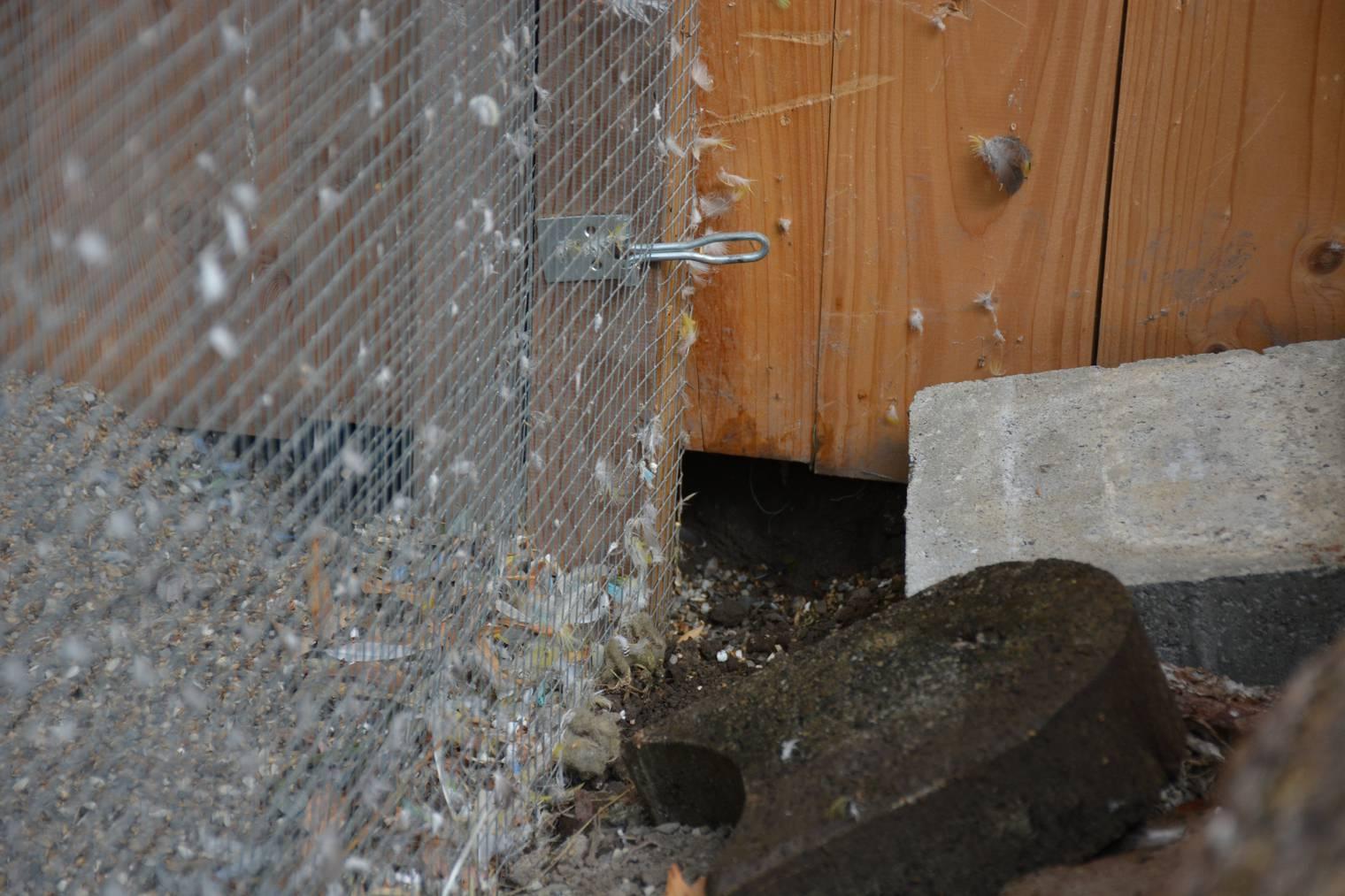Durch dieses Loch gelang der Marder ins Käfig. (Bild: Sarganserländer/Miriam Küpper)