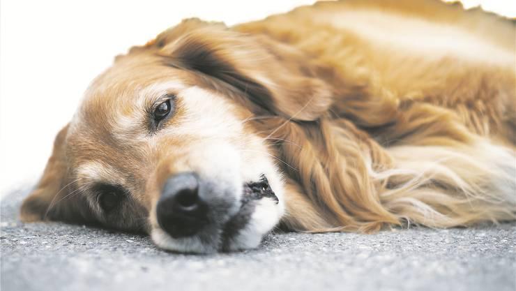 Hundesteuer und Hundemarke hin oder her – ihn kümmern die Abgaben an den Staat wenig.