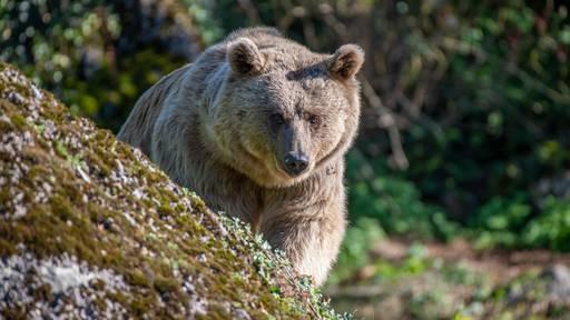 Bärin Maya kehrt nach 20 Jahren in den Tierpark Goldau zurück