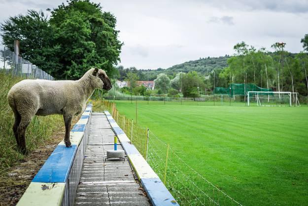 Schafe statt Fans auf den Stufen neben dem Spielfeld des SC Wohlensee.