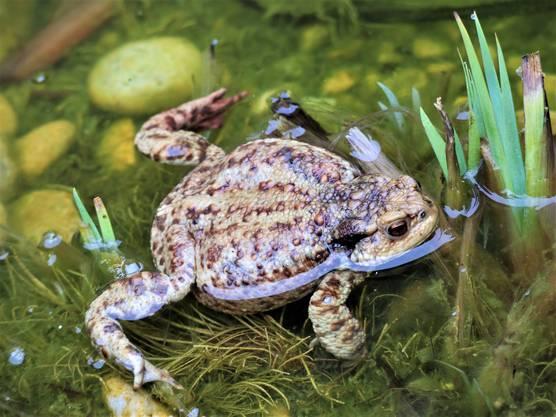 Diese Erdkröte erwartet viel Nachwuchs, fotografiert von Peter Rauber.
