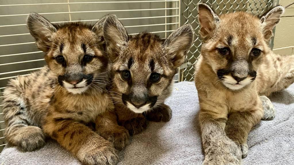 Nach Feuern: Puma-Baby «Captain Cal» hat ein neues Zuhause
