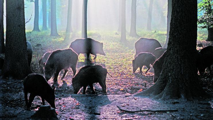 Wildschweinrotten auf Nahrungssuche bleiben längst nicht immer im Wald.