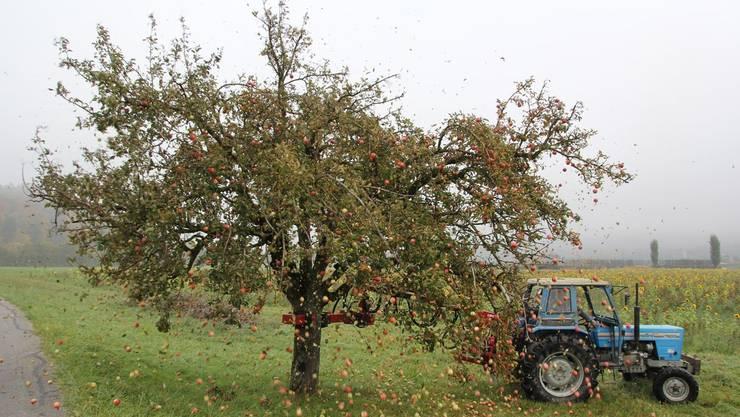 Die Apfelernte auf dem Hof der Familie Kohler fiel dieses Jahr ertragsreich aus.