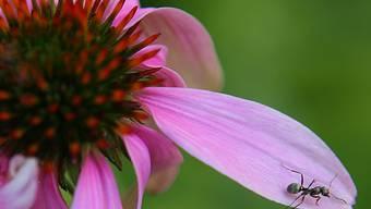 Im Gegensatz zu den einheimischen Ameisen macht die Tapinoma magnum keinen Winterschlaf. (Symbolbild)