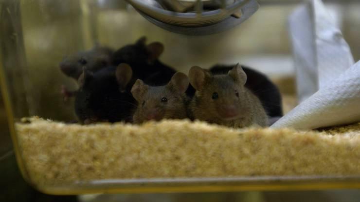 Immer mehr gentechnisch veränderte Mäuse kommen bei Tierversuchen zum Einsatz.