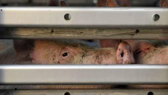 Wegen Ausbrems-Manövern gegen einen Tiertransporter ermittelt die Aargauer Staatsanwaltschaft ermittelt gegen einen 61-jährigen Mann.