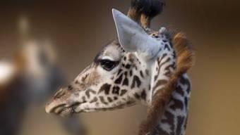 Kann sich auf seine neue (und schönere) Umgebung freuen: Giraffe im Zolli.