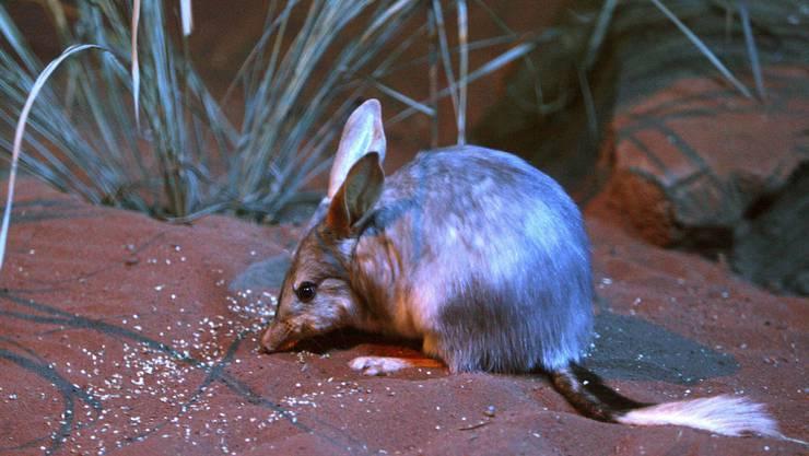 Bilby – die australische Variante des Osterhasen