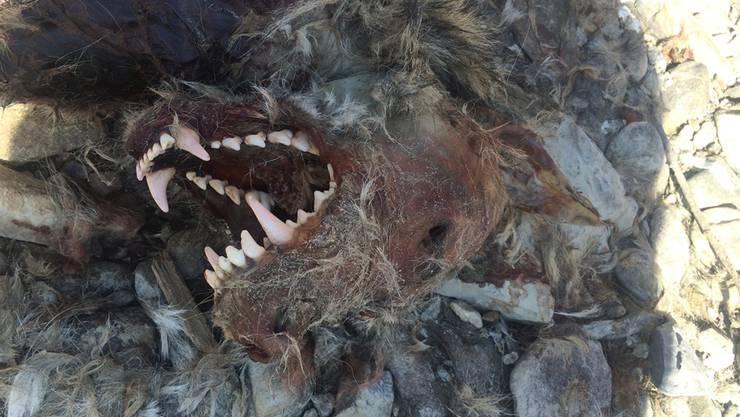 Es ist tatsächlich ein Wolf, und er wurde erschossen: Der Kadaver war am 7. März von einem Fischer entdeckt worden.