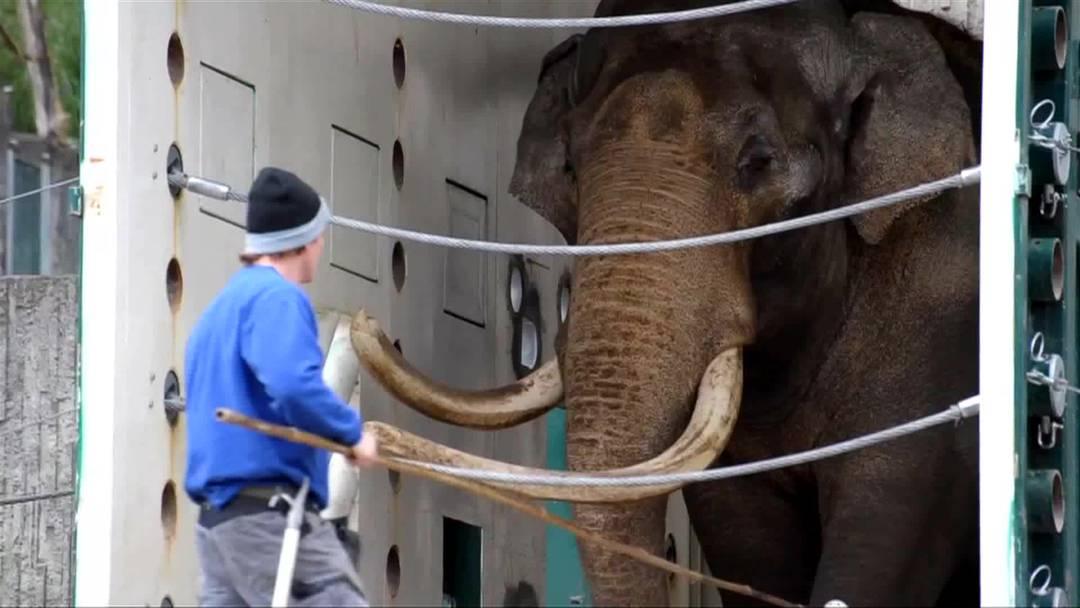 Die Elefanten im Zoo Zürich erhalten im kommenden Jahr ein neues Zuhause. Weil dort alles anderst sein wird, brauchen die grauen Riesen jetzt eine spezielle Schulung.