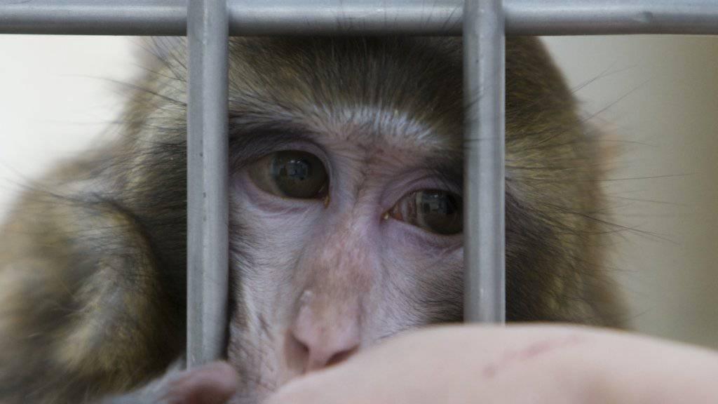 Die Universität und ETH Zürich können ihre beantragten Versuche mit Makaken Affen durchführen. Das Zürcher Verwaltungsgericht hat eine Beschwerde gegen die Bewilligung abgewiesen. (Archivbild)