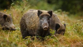 Jäger können seit Anfang Jahr eine Bewilligung für Nachtzielgeräte beantragen, um Wildschweine auf offenem Feld zu jagen.