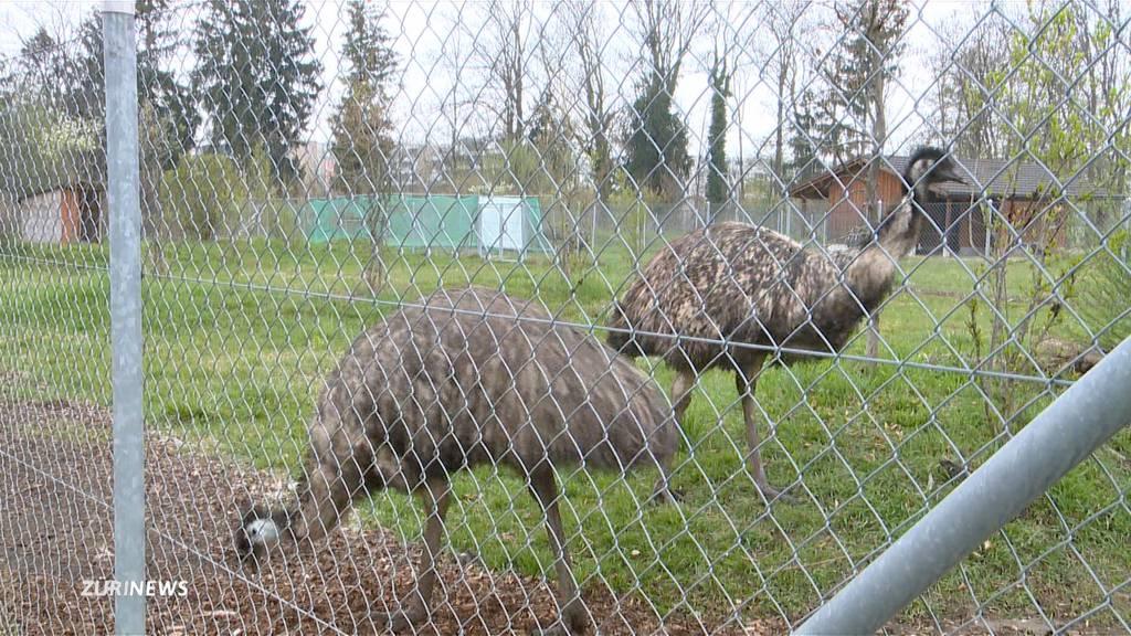 ERZ-Emus sollen neues Zuhause erhalten