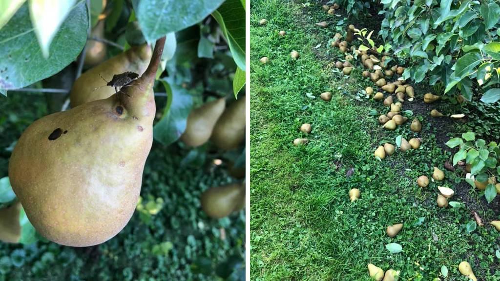 Thurgauer Bauer verschenkt sieben Tonnen Birnen