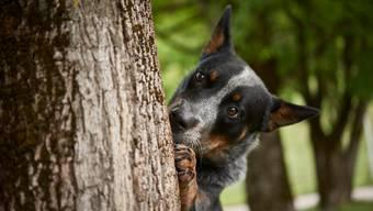 Australian Cattle Dog Max sucht einen Baum nach invasiven Schädlingen ab.