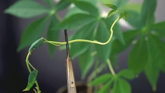 Dass Pflanzenwurzeln der Schwerkraft folgen, ist nicht selbstverständlich. Erst Samenpflanzen entwickelten vor 350 Millionen Jahren das Sensorium dafür. Forscher wollen die Einsicht in den Mechanismus dazu einsetzen, dürreresistentere Pflanzen mit besonders tiefen Wurzeln zu züchten. (Symbolbild)