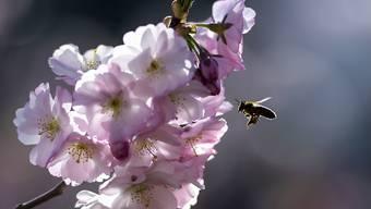 Blühende Bäume und Wiesen in der Stadt bieten Honigbienen und Wildbienen Nahrung. Wildere Gärten und Parks könnten viel für die Artenvielfalt bewirken. (Archivbild)
