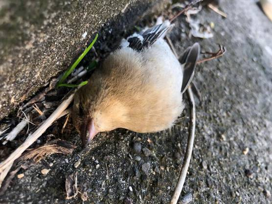 In Birsfelden und Muttenz wurden in der letzten Woche mehrere tote Vögel gefunden.