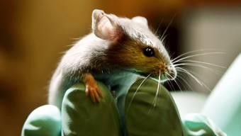Eine Maus in einem Labor für Tierversuche in Bar Harbor, USA