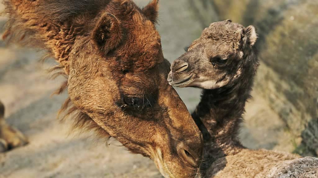 Ein Dromedar mit seinem Jungen, das noch mit Muttermilch versorgt wird. Kamelmilch scheint aber auch bei Menschen beliebt zu sein. Es gibt sie in kleinen Mengen sogar auch aus Schweizer Produktion. (Archivbild)