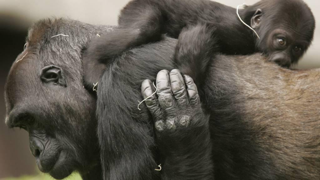 Das Bundesgericht hat die baselstädtische Volksinitiative «Grundrechte für Primaten» für gültig erklärt. Diese fordert in der Verfassung festgeschriebene Rechte für «nichtmenschliche Primaten» wie den Gorilla auf dem Bild. (Symbolbild)
