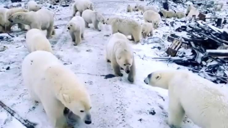Im Norden Russlands herrscht «Eisbären-Notstand».