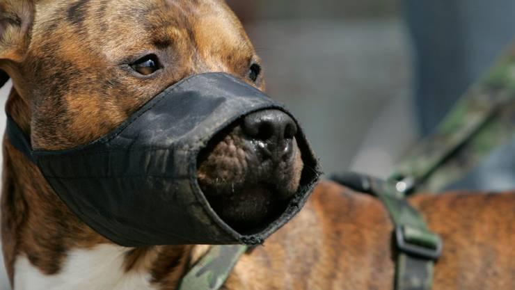 Pitbulls und mit dieser Rasse gekreuzte Hunde sind im Kanton Genf verboten. (Symbolbild)