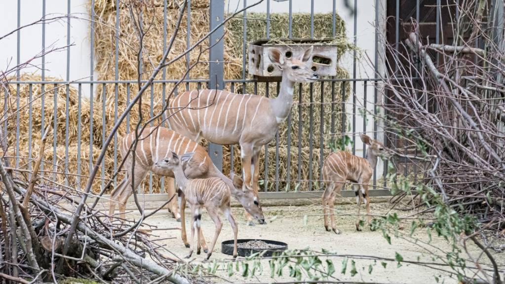Die beiden jungen Kleinen Kudus erkunden die Anlage im Basler «Zolli».